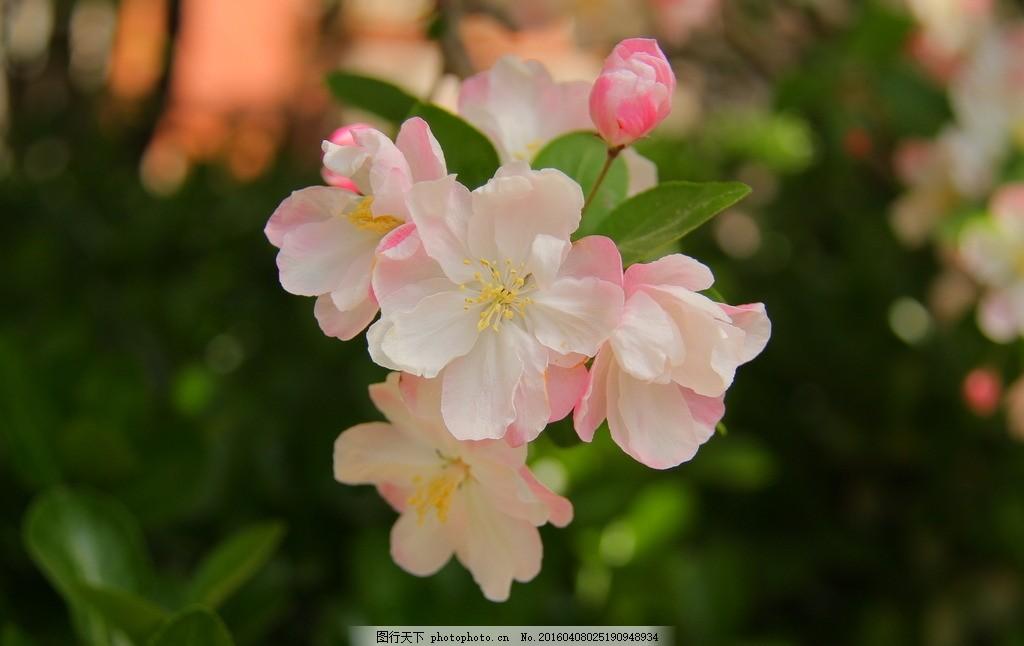 海棠 绿叶 花朵 春天 虚化 北京 背景 摄影 生物世界 花草 72dpi jpg图片