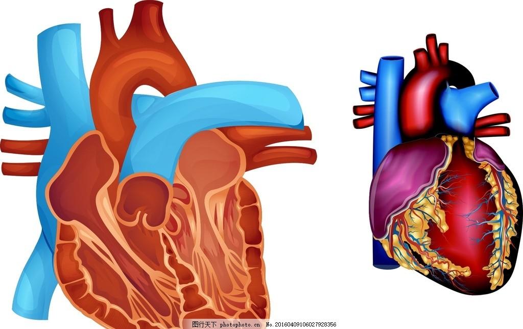 人体心脏器官图片