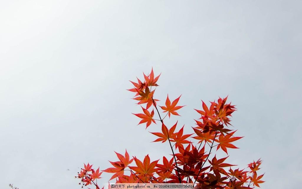 红枫 天空 红枫 枫树 枫叶 阳光 小清新 电脑壁纸 春色 蓝天 绿叶素材