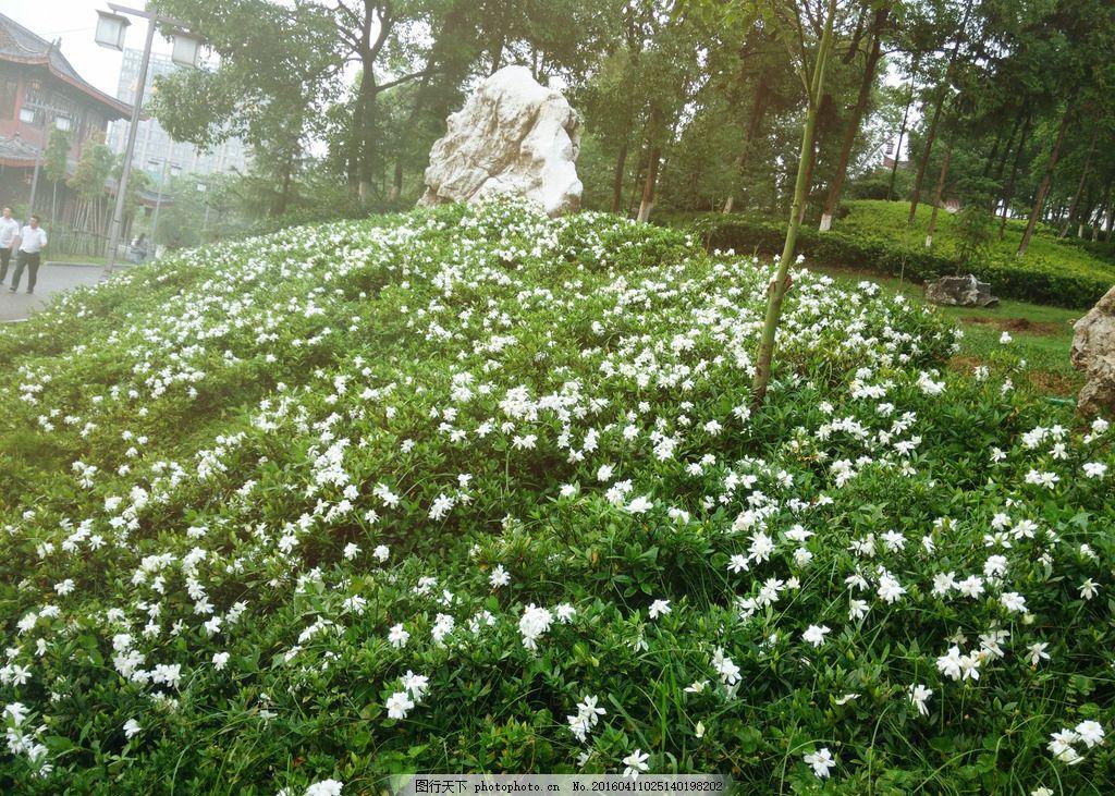 栀子花 花 图片素材 自然素材 自然风光 摄影 自然风景 公园美景 成片