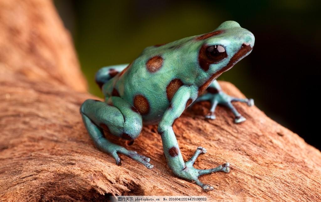 唯美 生物 动物 可爱 野生 青蛙 毒青蛙 箭毒蛙 摄影 生物世界 野生