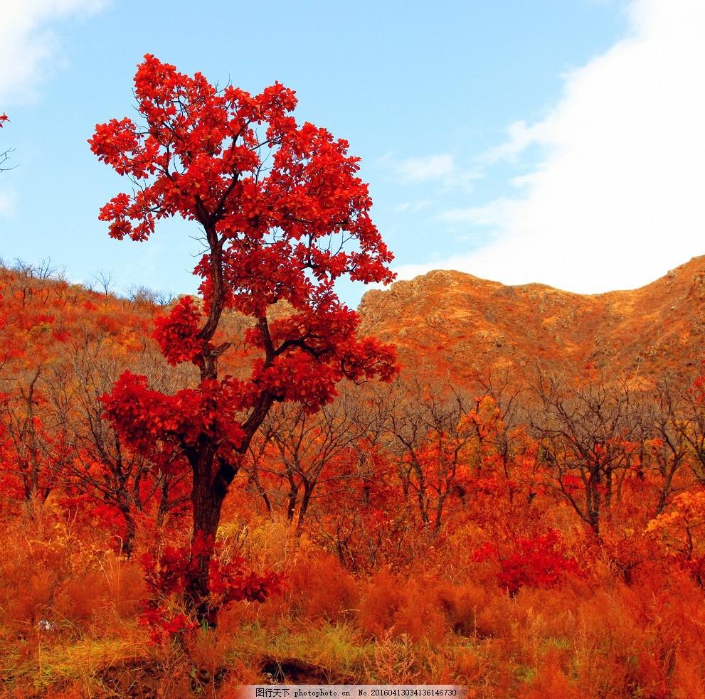 笑傲群芳 草原 红树 最美 金秋 孤傲的 一棵树 风景 摄影
