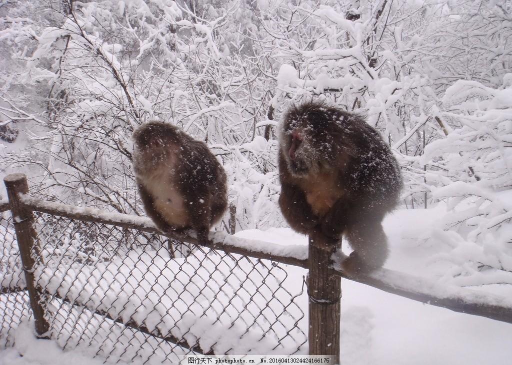 峨眉山 雪景 风景 自然 冬季 猴子 峨眉山~冬 摄影 生物世界 野生动物