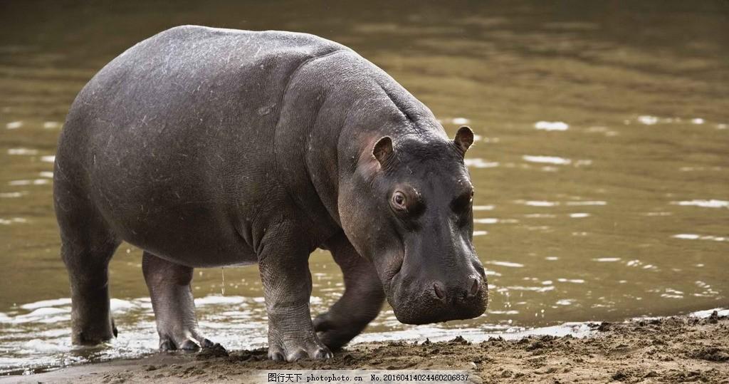 河马 非洲象 亚洲象 非洲森林象 白犀牛 印度犀牛 动物 小鸟