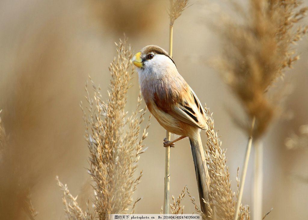 鸟与湿地 飞鸟 动物 芦苇 生态 自然 自然生态 环保 摄影
