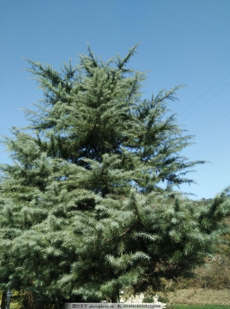 松树是什么样子你没