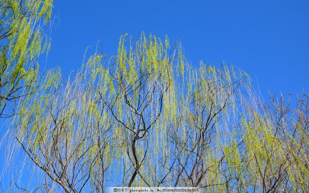 柳树 树木 垂柳 蓝天 春天 摄影 生物世界 树木树叶 300dpi jpg