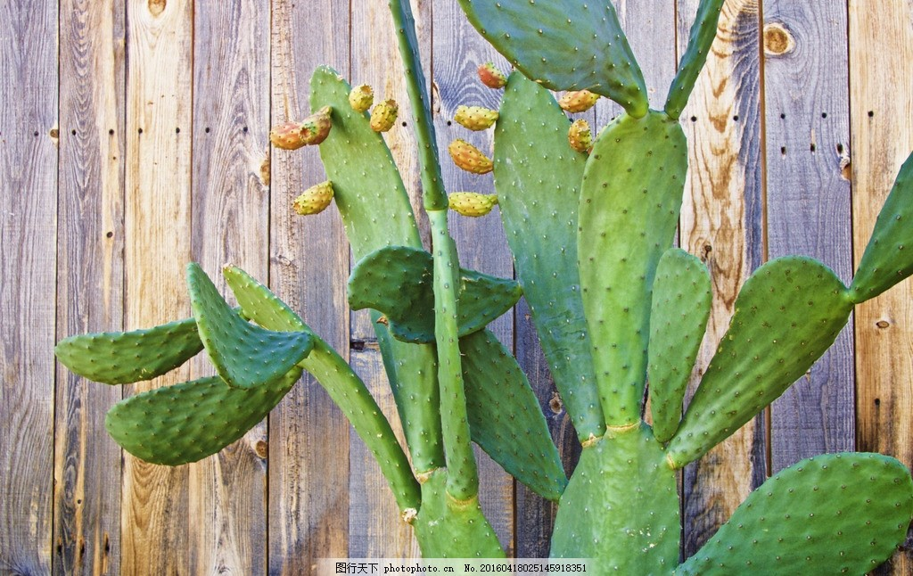 仙人掌 仙巴掌 观音掌 火掌 仙人掌花 植物 绿色植物 摄影