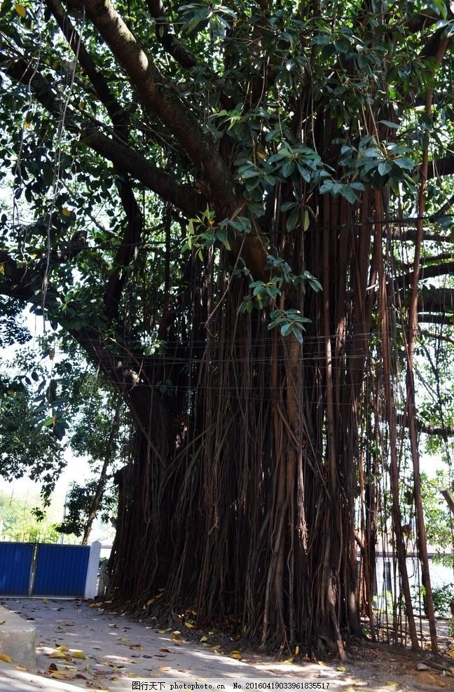 榕树 大榕树 大树 气根 垂根 摄影 国外旅游