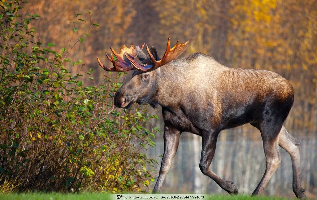 麋鹿 鹿群 动物 鹿角 动物世界 动物摄影