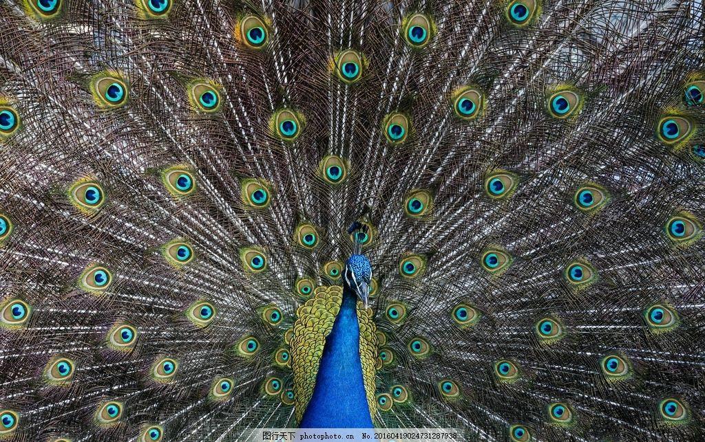 唯美孔雀 孔雀 动物 动物园 孔雀开屏 孔雀毛 动物 摄影 生物世界