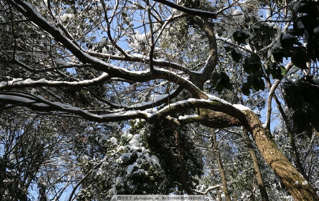 大树 树枝 白雪 雪花 树木 植物 雪景 雪后森林 森林雪景 森林白雪