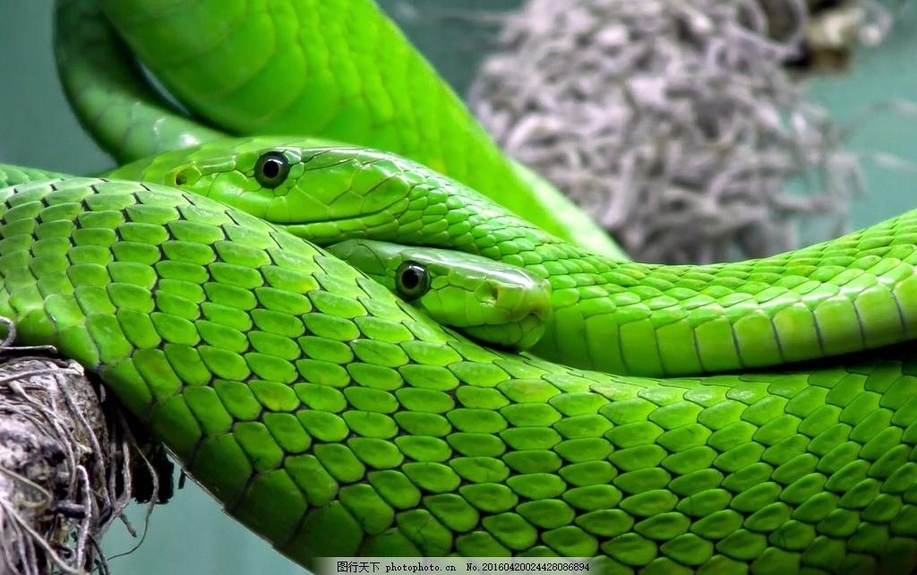 青蛇摄影 爬行动物 竹叶青蛇 青竹蛇 毒蛇 青竹彪 刁竹青 焦尾巴图片