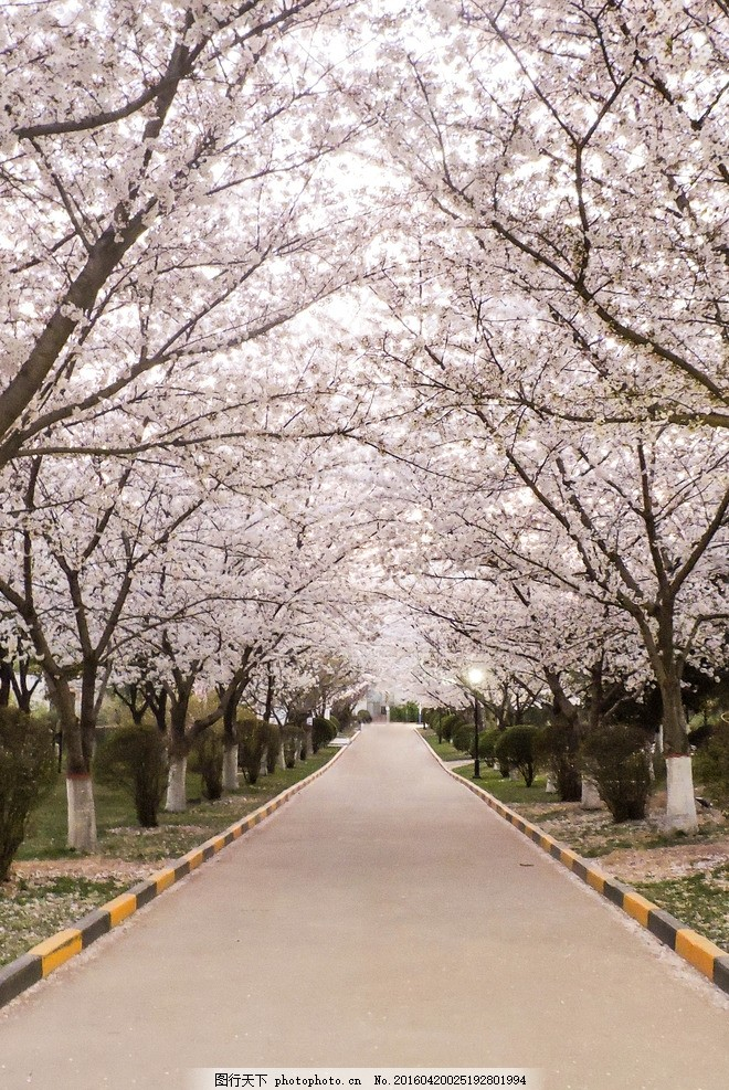 樱花小路 春天 景色 樱花路 风景 摄影素材