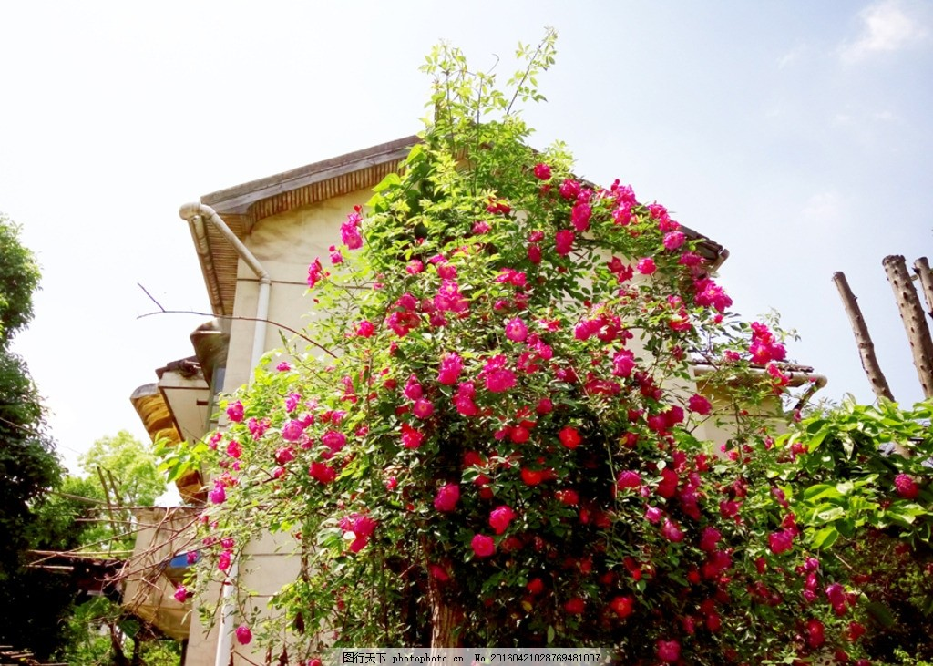 蔷薇花 老房子 春天 春暖花开 怀旧 老时光 蔷薇花开 红色花朵 蓝天