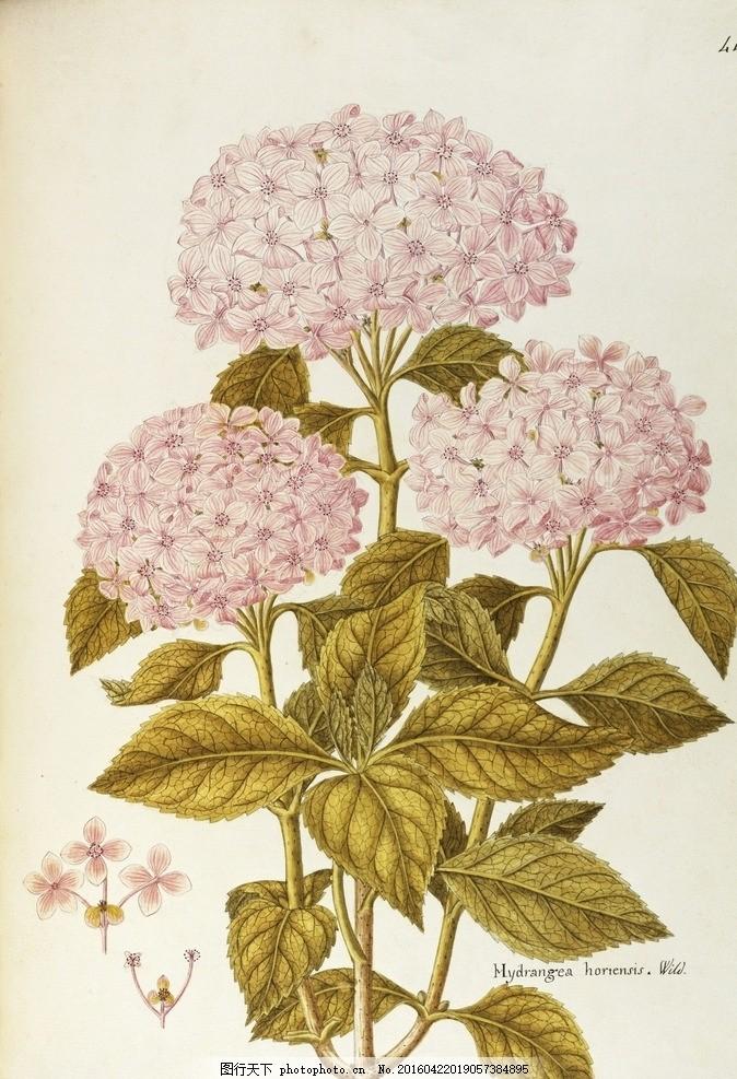 手绘植物 手绘花 复古花 花卉 美式乡村 欧式 花草 叶子 绣球花