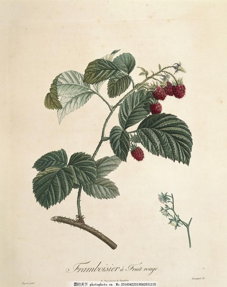 手绘植物 复古花 花卉 美式乡村 欧式 水果 叶子 果子 树莓