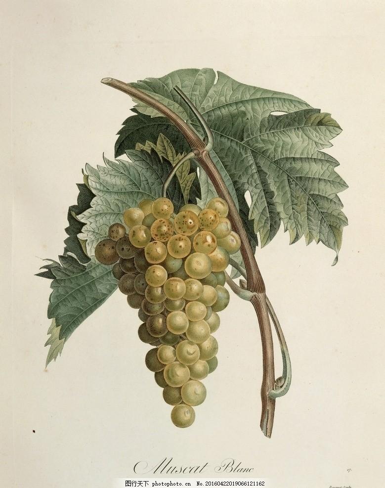 手绘 复古花 复古 花卉 美式乡村 欧式 手绘植物 水果 叶子 葡萄 画风