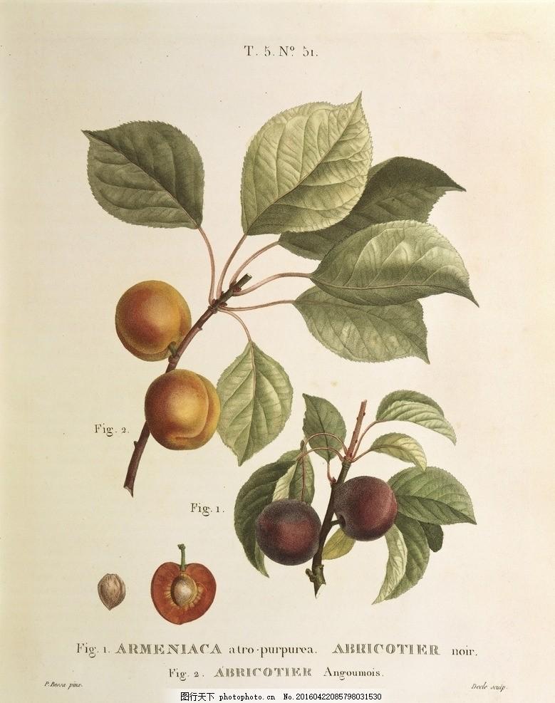 手绘 复古花 复古 花卉 美式乡村 欧式 手绘植物 水果 叶子 李子 果子
