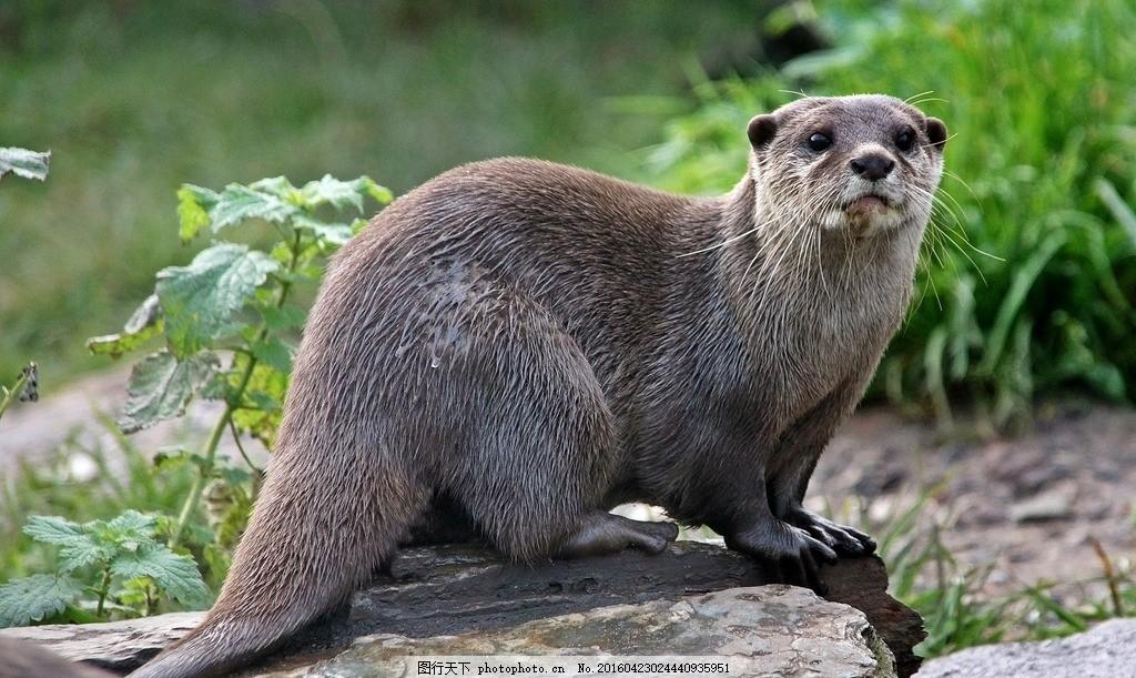 水獭 獭猫 鱼猫 水狗 水毛子 水猴 666 摄影 生物世界 野生动物 72dpi