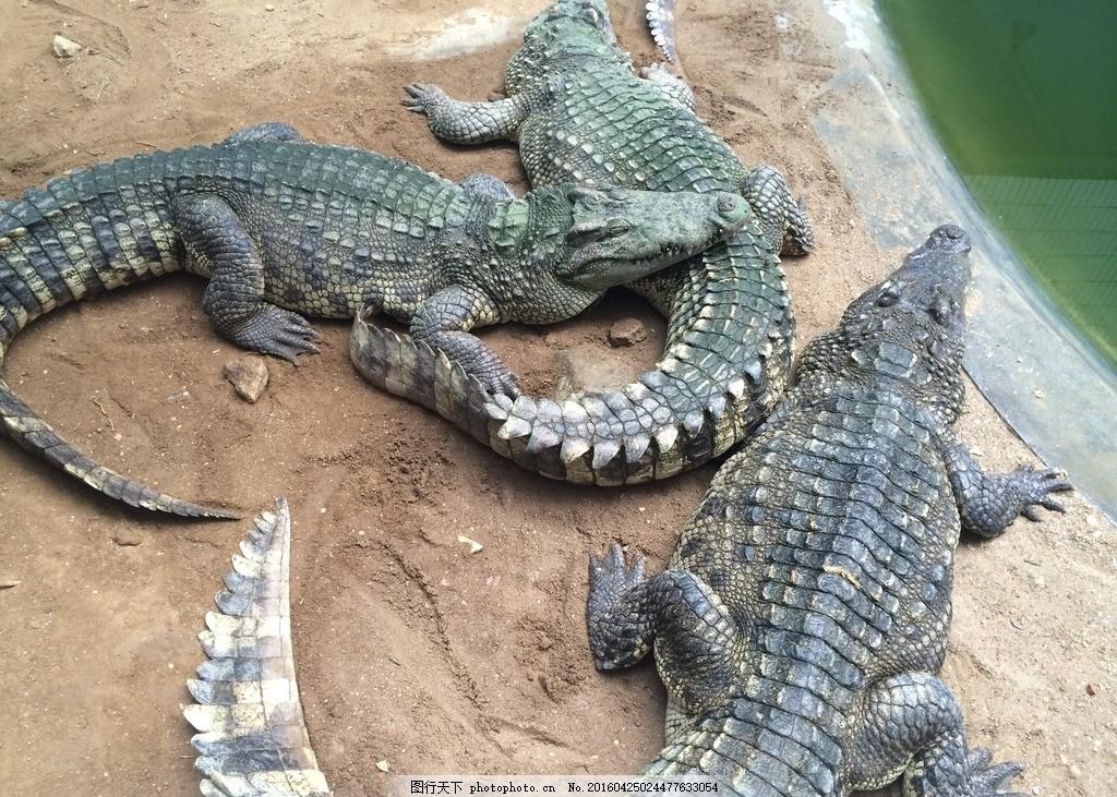 鳄鱼 鳄鱼园 真鳄鱼 南顺 爬行动物 冷血动物 摄影