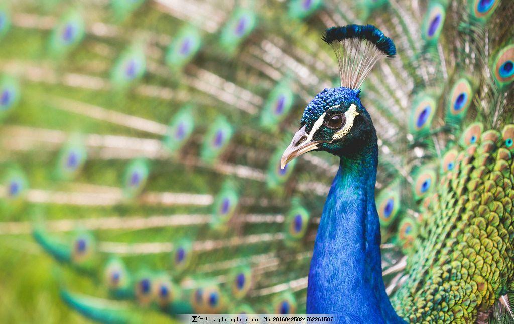 孔雀 越鸟 南客 蓝孔雀 绿孔雀 孔雀开屏 鸟类 鸟 动物 摄影 生物世界