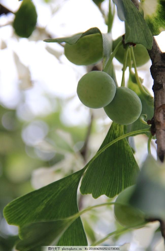 青色 绿色 叶子 银杏 银杏叶 白果 树叶 树木 白色的银杏叶 摄影 生物