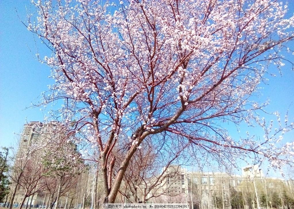 杏花 辽宁大学 校园风景 蒲河 沈北新区 杏花 摄影 生物世界 花草 72