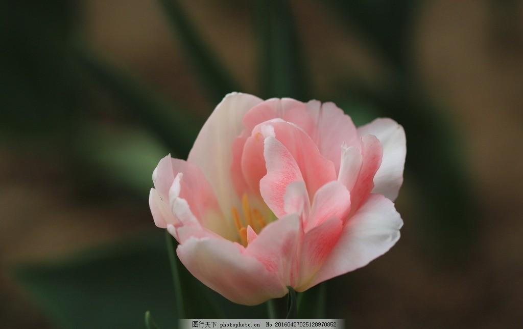 一朵郁金香 花卉 百合科 郁金香 粉白色郁金香 花朵 植物 花蕊 花卉