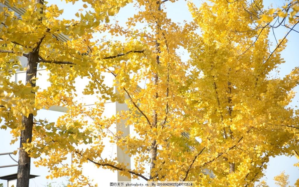 壁纸 风景 森林 银杏 银杏树 银杏叶 桌面 1024_641