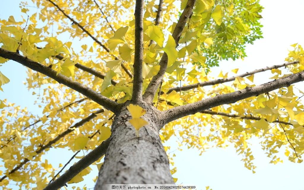 银杏树 银杏树叶 金黄色 秋天 生活随笔 摄影
