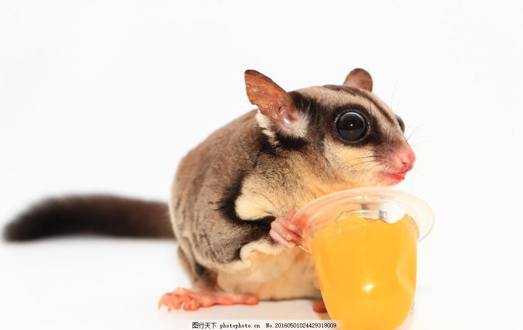 唯美龙猫 唯美 可爱 动物 野生 龙猫 毛丝鼠 摄影 生物世界 野生动物
