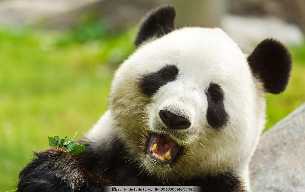可爱熊猫 唯美 动物 野生 国宝 大熊猫 摄影