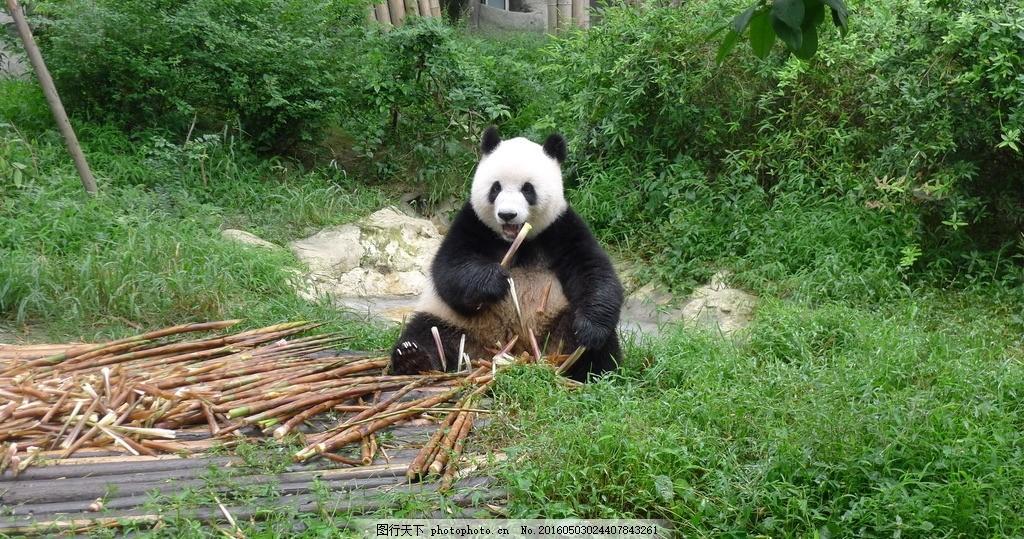 熊猫 大熊猫 小熊猫 卡通熊猫 功夫熊猫 可爱熊猫 国宝熊猫 熊猫 摄