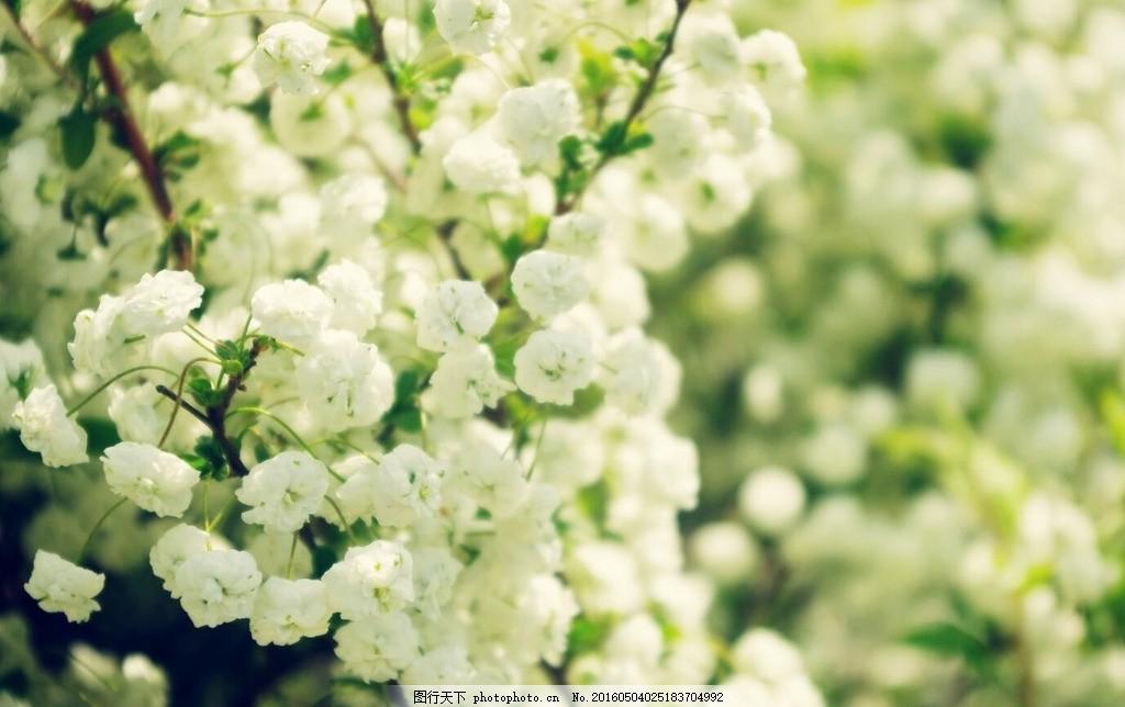 满天星 满天星摄影 白色小花 电脑壁纸 花朵壁纸 清新碎花 满天星花