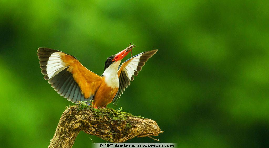 鸟儿 小鸟 漂亮的鸟 美丽的鸟 彩色的鸟 展翅欲飞的鸟 素材 摄影 生物