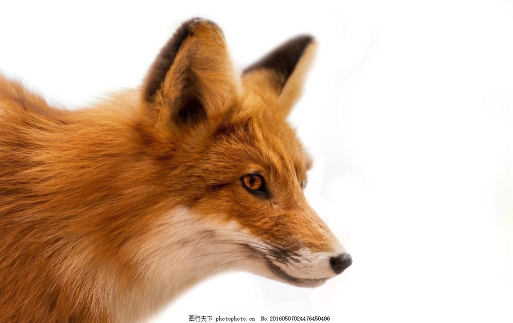 唯美 生物 动物 可爱 狐狸 狐 摄影 生物世界 野生动物 300dpi jpg