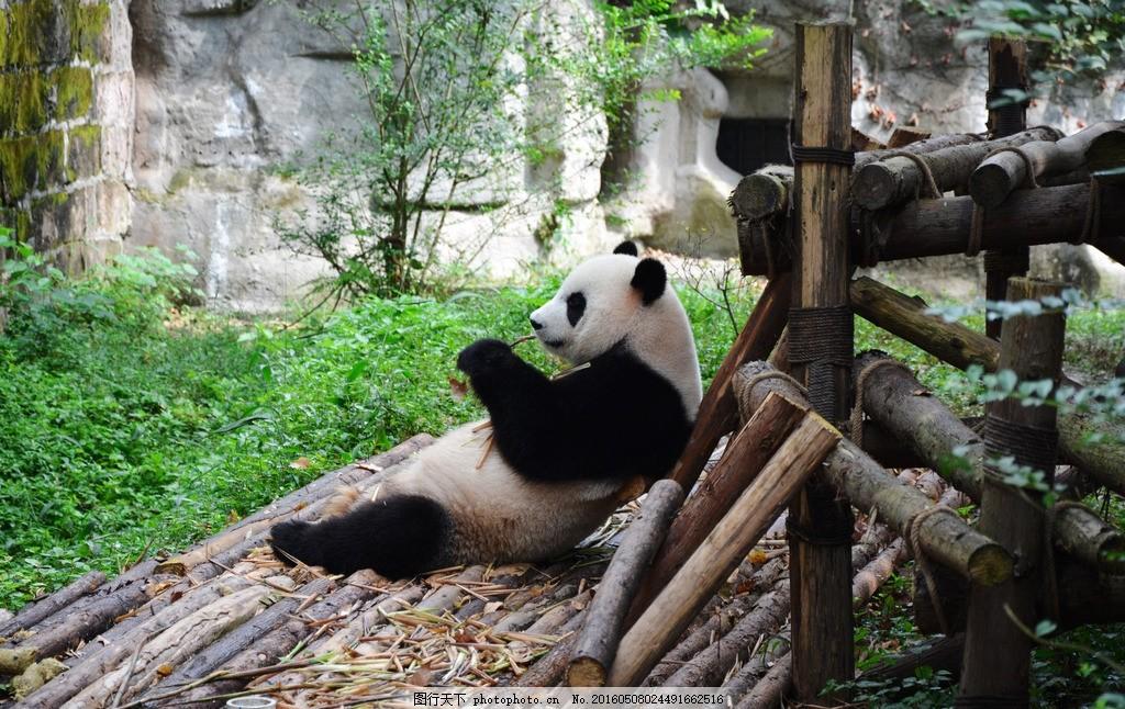 熊猫 大熊猫 panda 动物园 吃竹子 摄影 生物世界 野生动物 300dpi