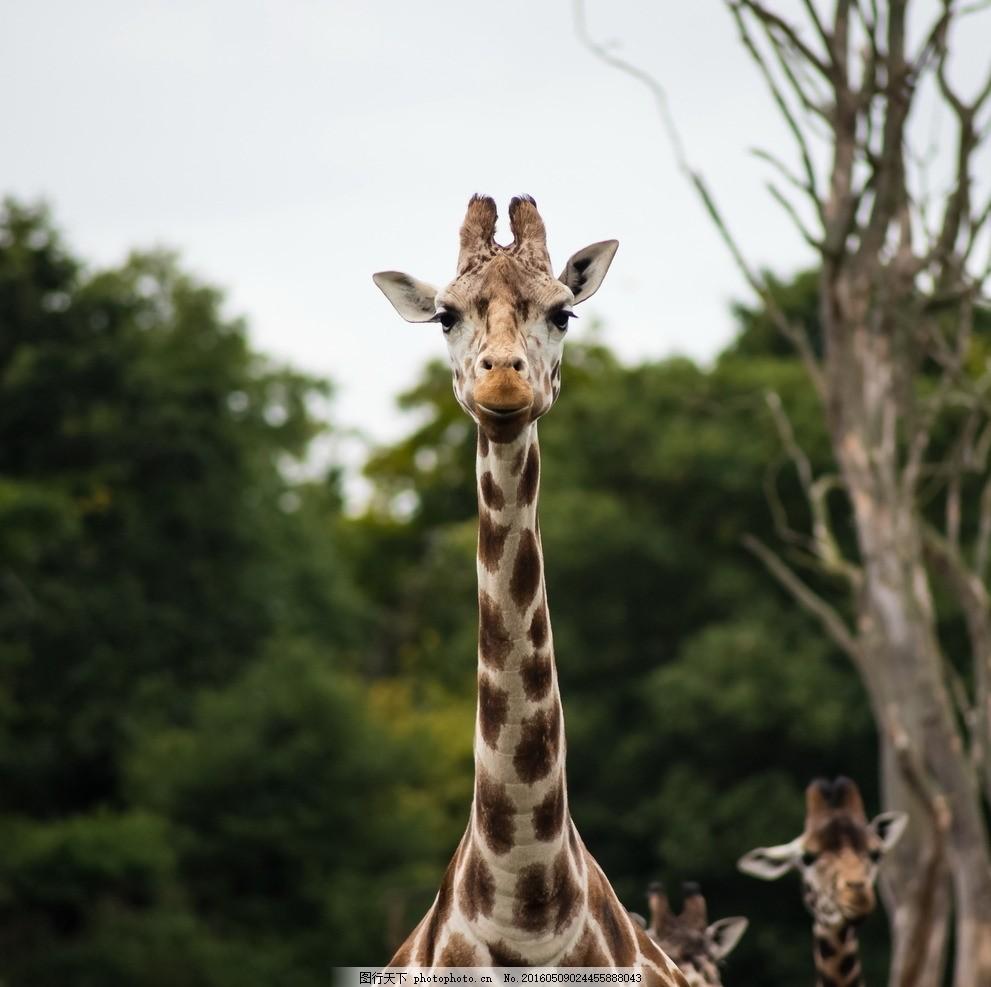 长颈鹿 动物 森林 树林 自然 大自然 旅游 景点 摄影 摄影