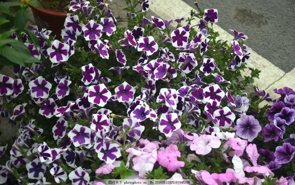 舞春花 花卉 小花矮牵牛 花冠漏斗状 花色丰富 白紫相间 彩色
