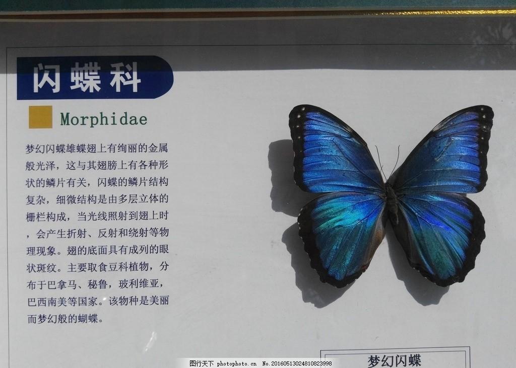 梦幻闪蝶 大自然 自然界 科学 科普 蝴蝶 动物 昆虫 摄影 生物世界