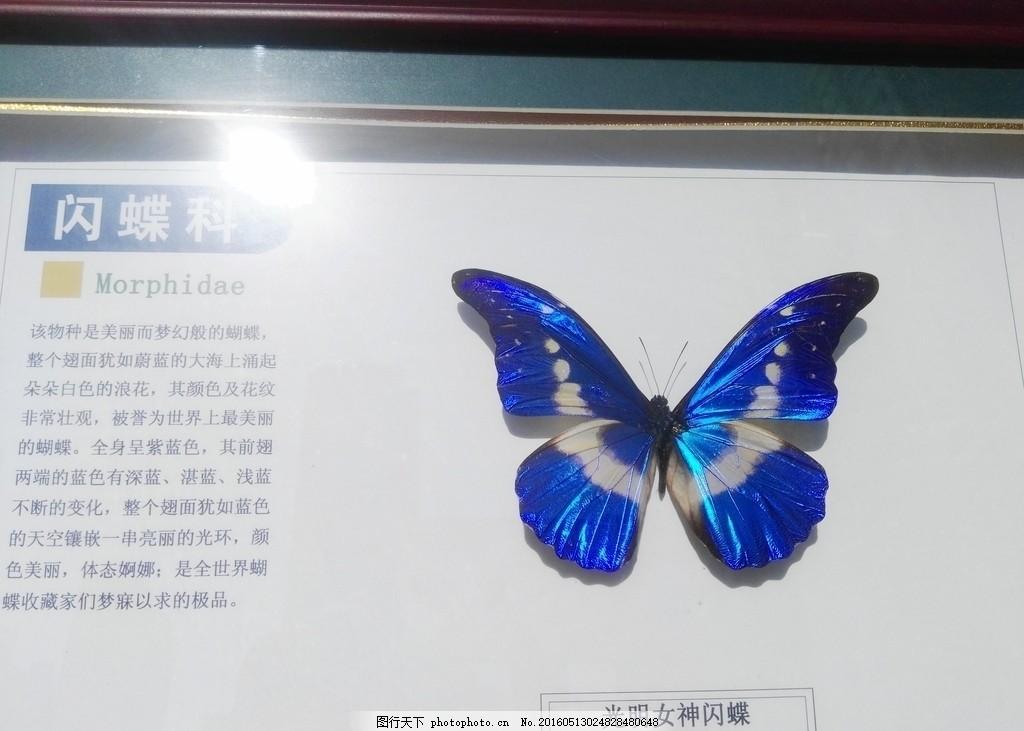 光明女神闪蝶 大自然 自然界 科学 科普 蝴蝶 动物 昆虫 摄影 生物