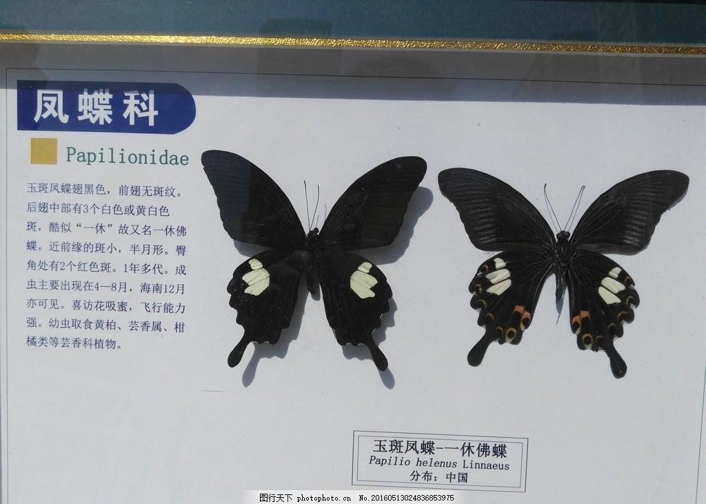 玉斑凤蝶 大自然 自然界 科学 科普 蝴蝶 动物 昆虫 摄影 生物世界
