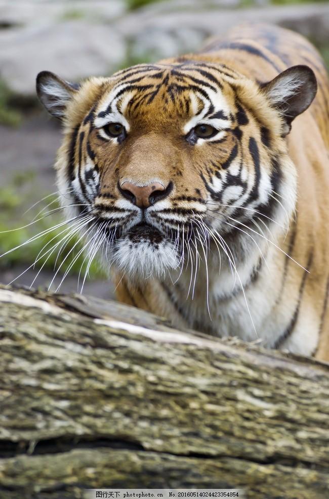 老虎 唯美 炫酷 凶猛 动物 猛兽 摄影