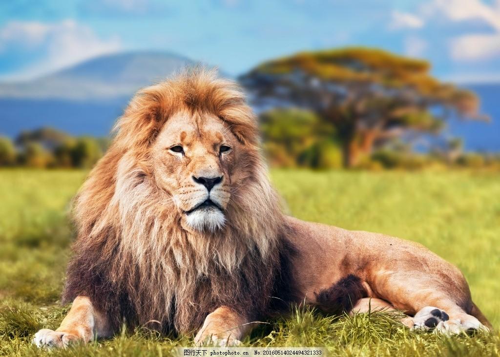 唯美 炫酷 凶猛 动物 猛兽 狮子 摄影 生物世界 野生动物 300dpi jpg