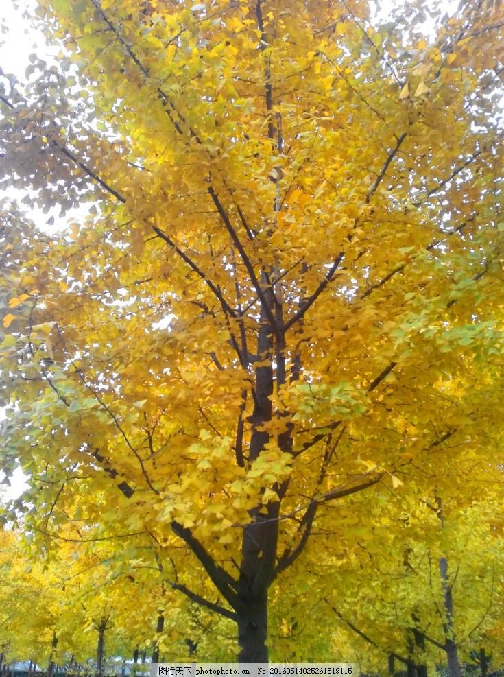 杏树 树叶 杏叶 叶子 摄影
