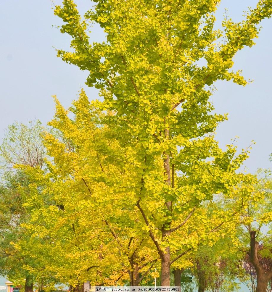 树木 树叶 秋叶 秋天 金黄色 落叶木 银杏树 金黄色树叶 银杏树叶