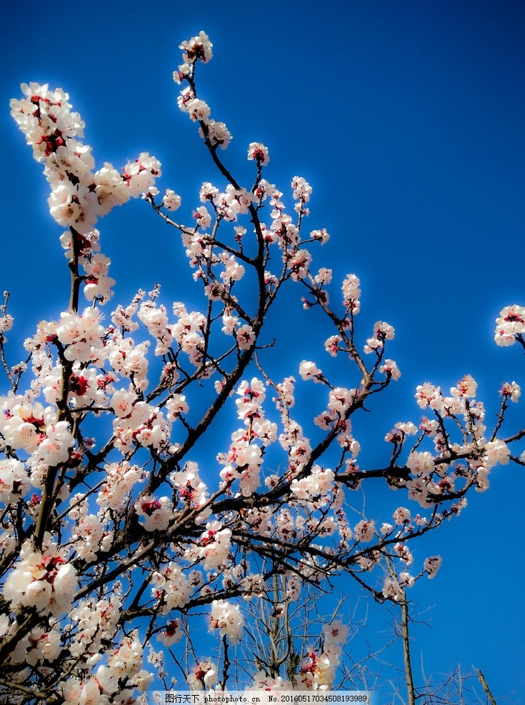 杏花一隅 蓝天 杏花 春天 盛开 自然 乡下 初春 摄影 自然景观 田园