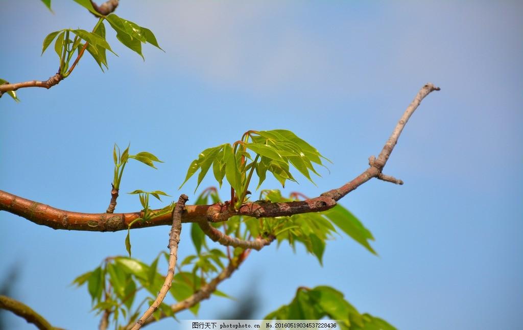 嫩芽 春天 发芽 树叶 枝条 木棉 树 木棉树 生态 大自然 自然 摄影