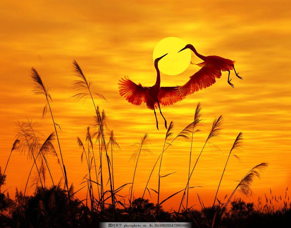 仙鹤 丹顶鹤 飞舞 飞翔 舞蹈 夕阳 芦苇 野外 自然 黄昏 梦幻 唯美